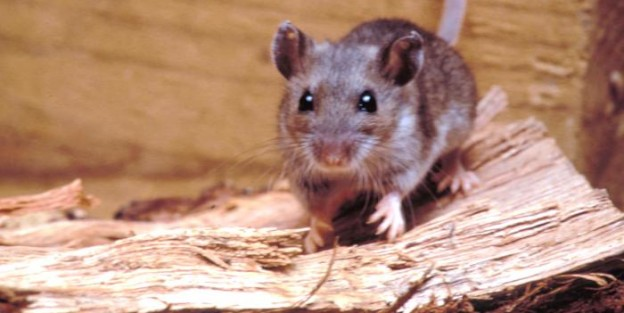 Protecting Yourself Against Hantavirus