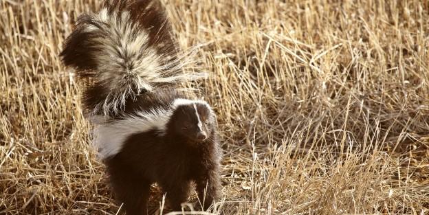 8458902 - striped skunk in stubble field